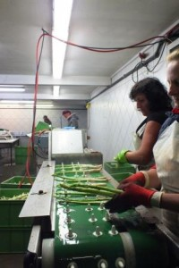 Tri des asperges effectué par des travailleuses saisonnières polonaises, Basse-Saxe, Allemagne